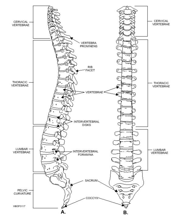 Axial Skull Vertebral Column And Bony Thorax RibsVertebral Column Unlabelled