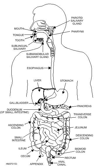 The Alimentary Canal
