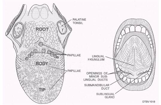Anatomy of floor of mouth for Floor of mouth anatomy